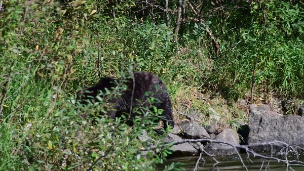 9-28-19 Video Grizzly Walking The River Bank - Bella Coola