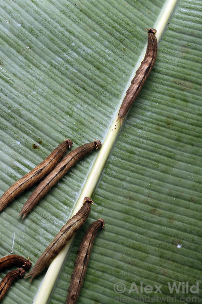 Caligo caterpillars on a banana leaf.