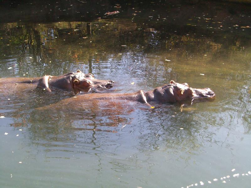 20071026.CIMG1870.Zoo-Hippos.jpg