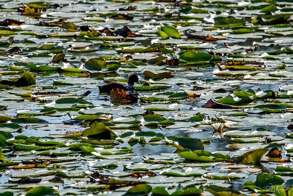 A l'étang de Crosagny