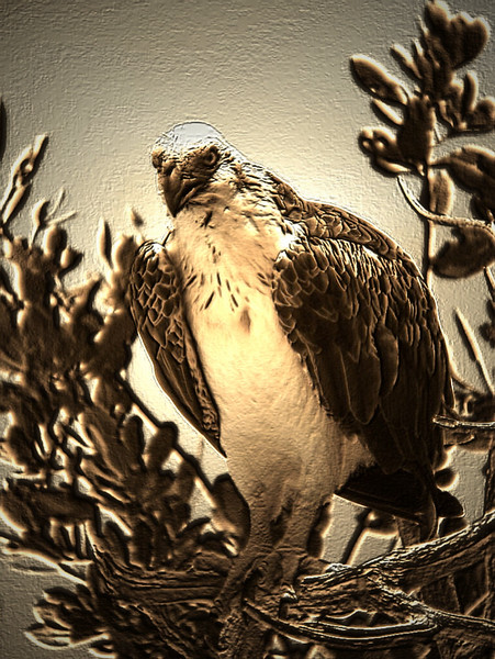 Close up photography of an Osprey standing on a branch. Photography fine art photo prints print photos photograph photographs image images artwork.