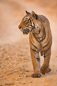 Tiger on a forest track