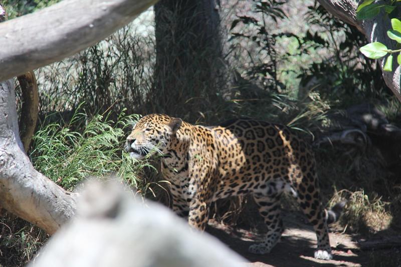 20170807-102 - San Diego Zoo - Leopard.JPG