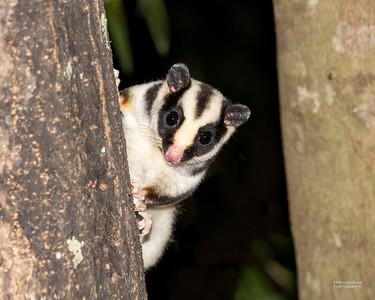 Gliding & Striped Possums (Petauridae)