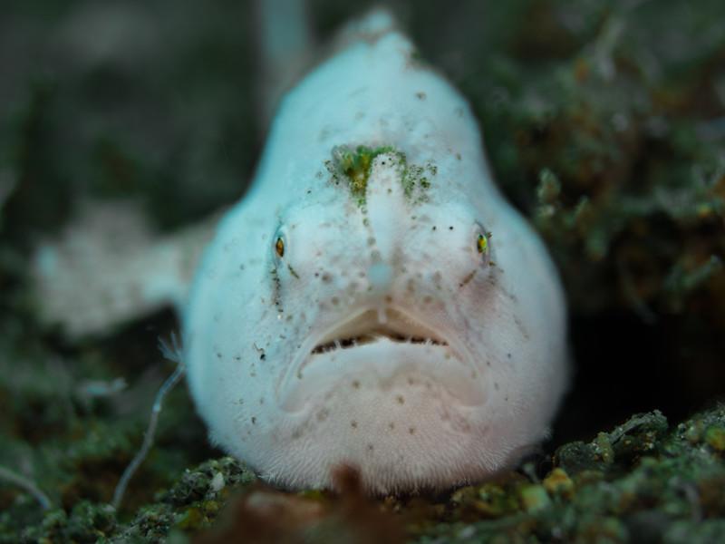 WhiteFrogfish-6.jpg