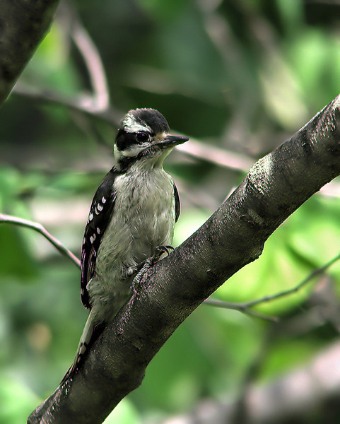 downey_woodpecker_fledgling_0847.jpg