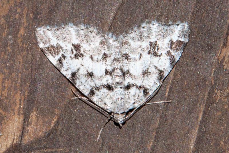Granite - Owen' s Larch - (Macaria oweni) - Dunning Lake - Itasca County, MN