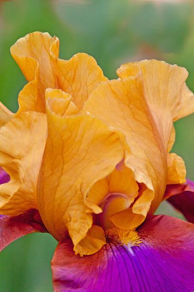 Presby Iris Garden-2014