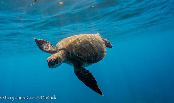 Green Sea Turtles, Honu