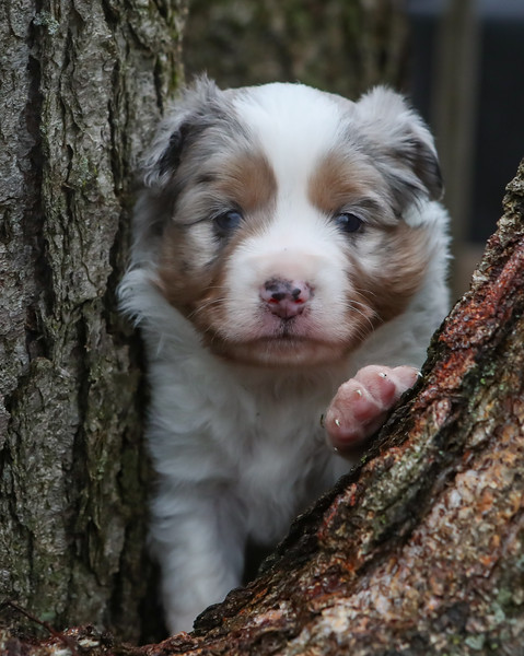 Albus Dumbledore Blue Merle Male 24 days old