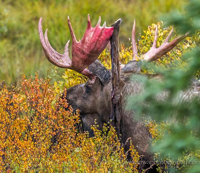 Velvet Shedding on Bull Moose Antlers Denali National Park Alaska © 2013