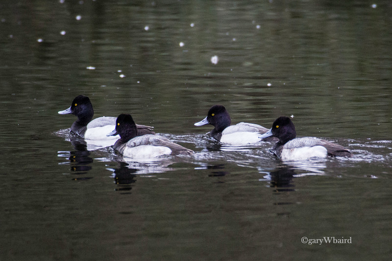 Lesser Scaup Quartet