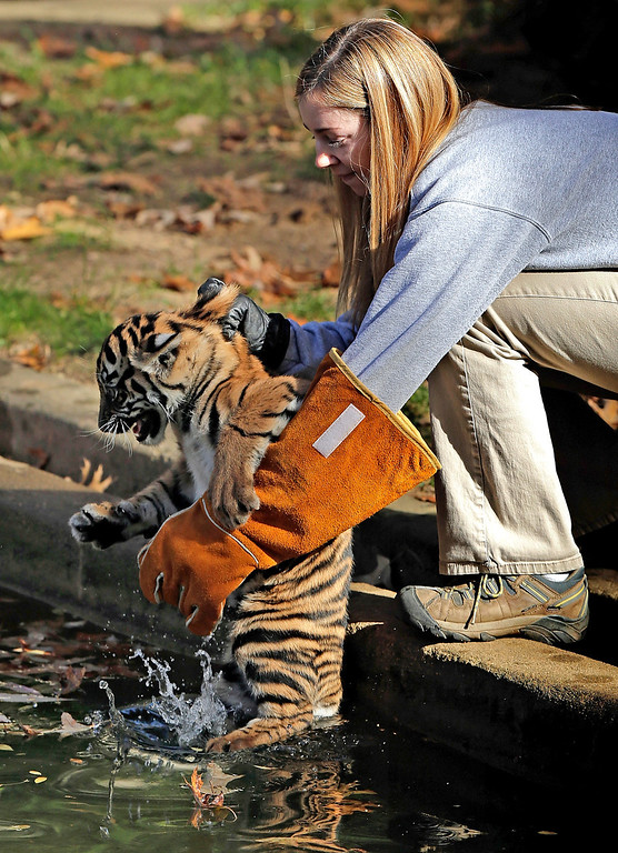 """. A female Sumatran Tiger cub named Sukacita is placed into a moat by biologist Leigh Pitsko (R) before the cub performed her \""""swim test\"""" at the Great Cats exhibit of the National Zoo November 6, 2013 in Washington, DC. (Photo by Win McNamee/Getty Images)"""