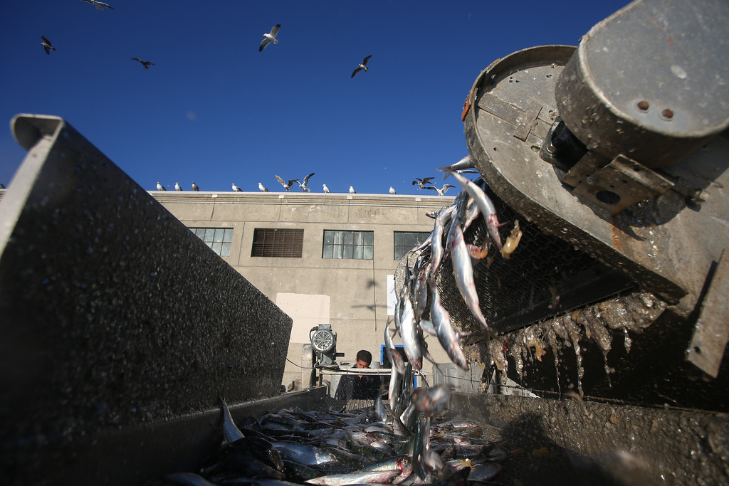 . Herring are unloaded from Dennis Deaver\'s boat at the  San Francisco Community Fishing Association dock on Pier 45 in San Francisco, Calif., on Friday, Feb. 8, 2013.  (Jane Tyska/Staff)