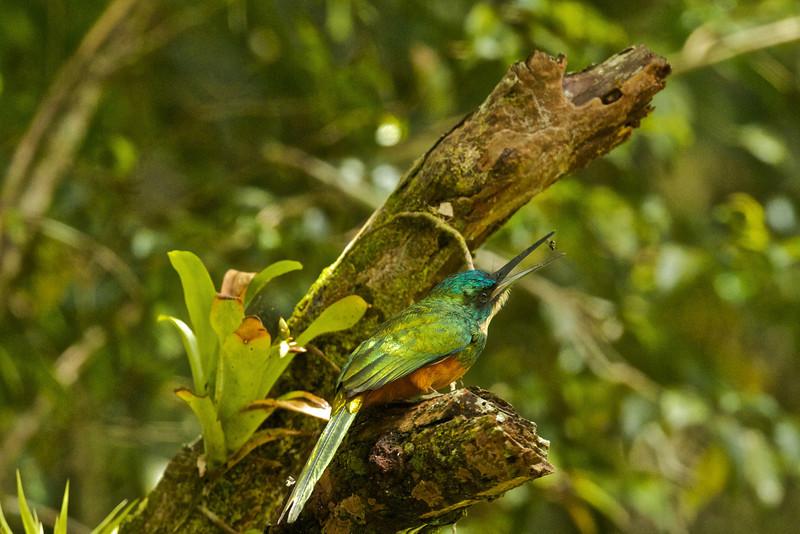 Rufous-talied Jacamar Galbula ruficauda