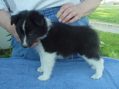 Karashome Puppies