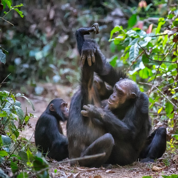 """Chimp """"Grooming Hand Clasp"""""""