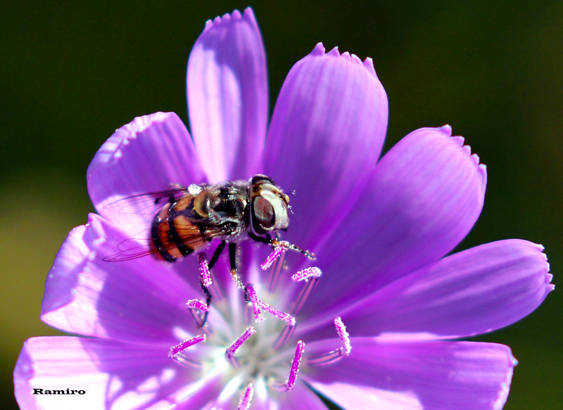 Fly on flower 5-29-15 103.jpg