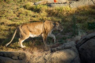 Lions Oakland Zoo