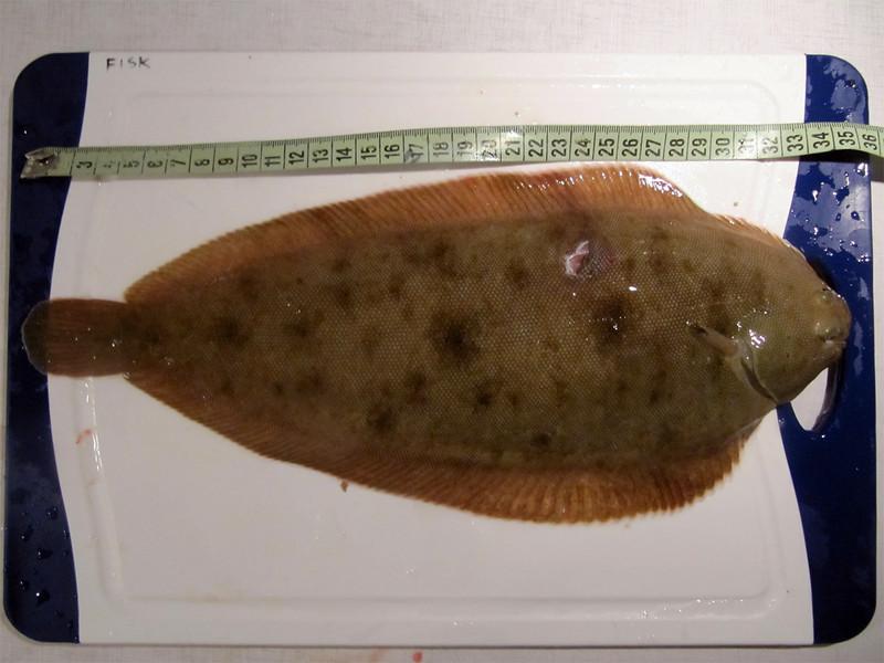 Tunge 35 cm 400g. August 2011 (UV)