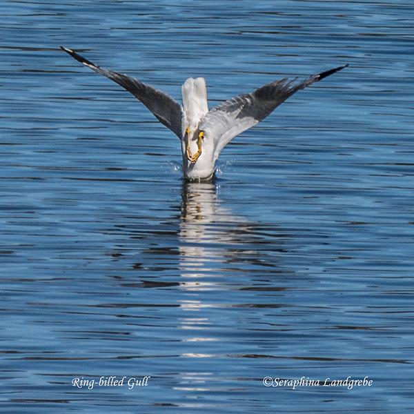 _DSC2469Ring-billed Gull Diving.jpg