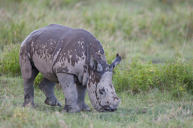 Water Buffalo, Hippo & Rhino