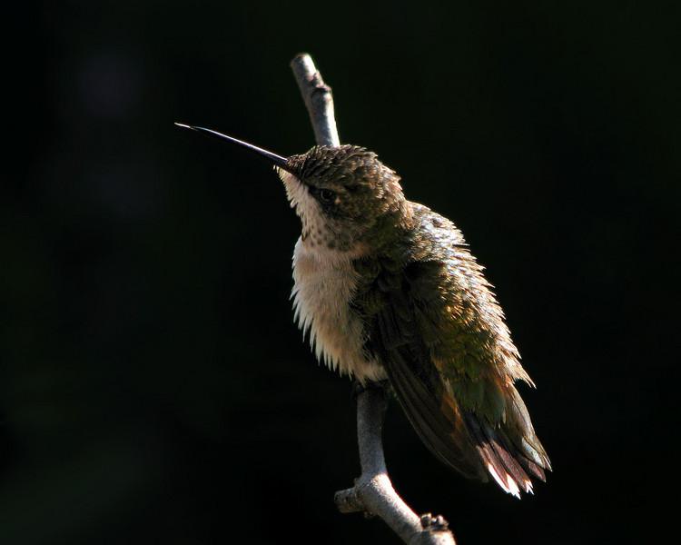 hummingbird_3402.jpg