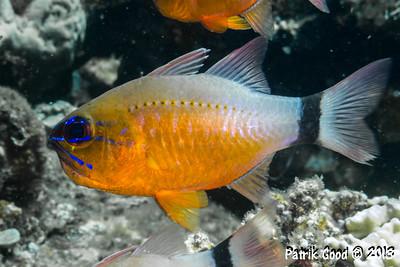 Ringtail Cardinalfish