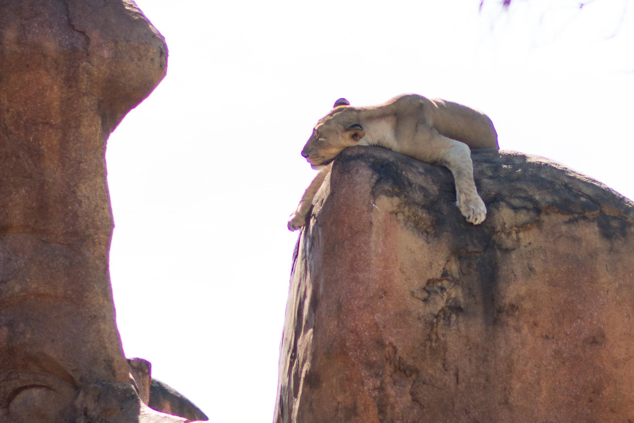 Disney's Animal Kingdom - Lion