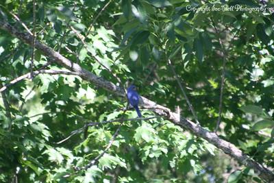 2010 Blue Birds