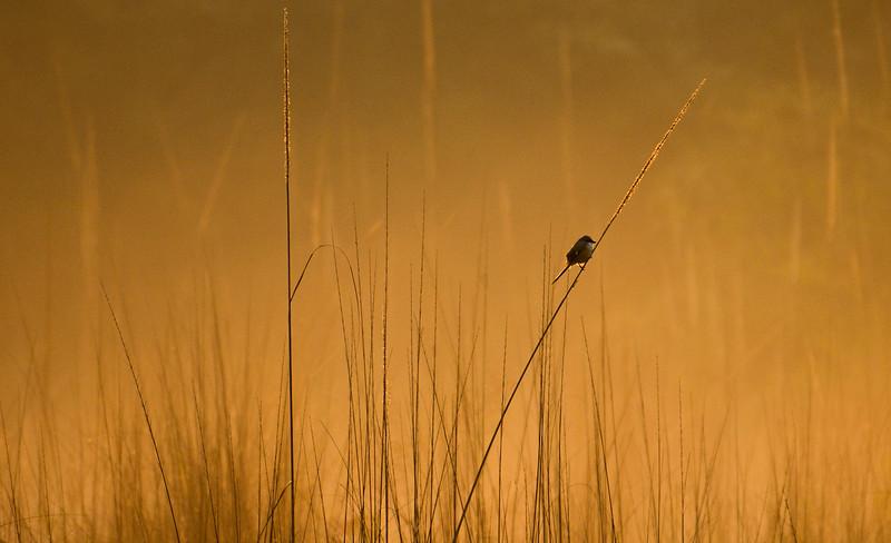 Long-tailed-shrike-golden-glow-corbett-new.jpg