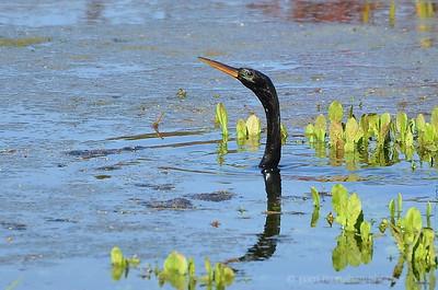 Cormorants & Anhingas