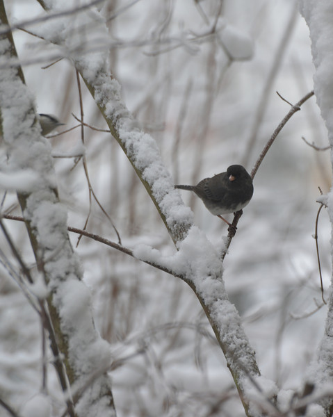 Dark eyed junco.jpg