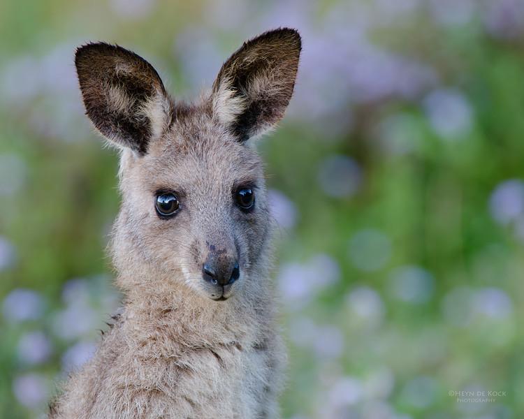 Eastern Grey Kangaroo, Coombabah Lakelands, QLD, Sept 2011-1.jpg