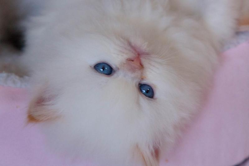 Himi_Kittens_Nov30-8135.jpg