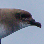 Trinidade Petrel light morph at Gulf Stream pelagic off Hatteras, NC (06-02-2012) 002-87.jpg