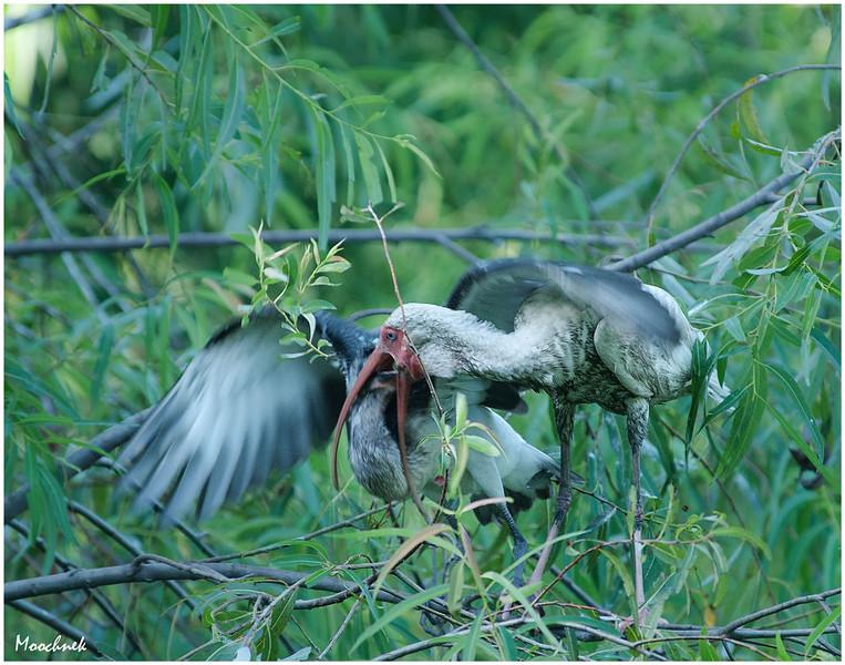 ibis6.jpg