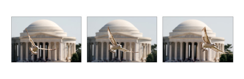 Seagull at the Jefferson Memorial in motion