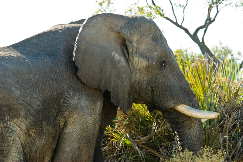 Old Bull Elephant.jpg