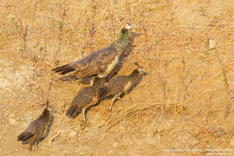 Indian Pea Fowl with juveniles - Maharashtra, India