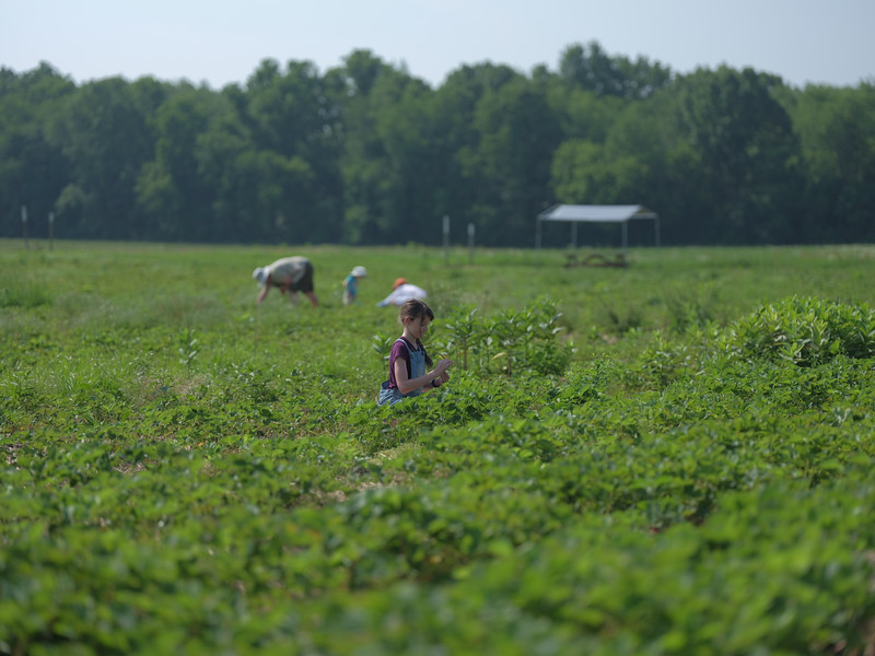 June 17, 2018 - Strawberry Picking for Fathers Day-206.jpg