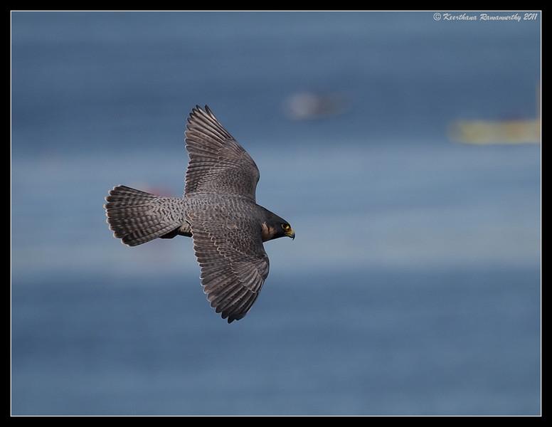 Peregrine Falcon, La Jolla Cove, San Diego County, California, February 2011