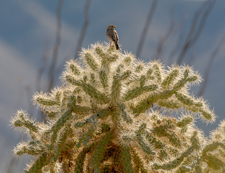 Female House Finch on Cholla