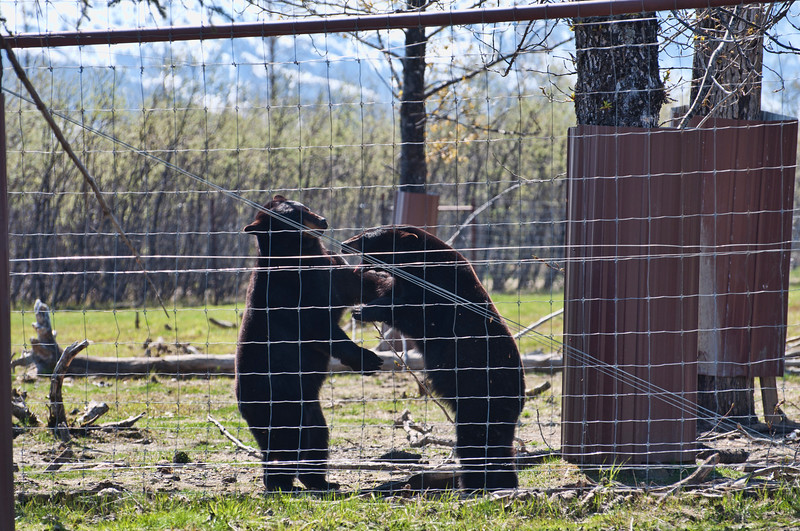Black bears tousle.  Amazing to watch the power of these bears as they play rough.