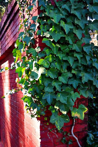 ivy wall 12-7-2010.jpg