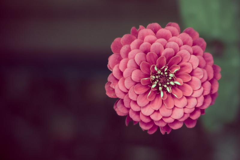 Pink Flower desat - no wm rezzed up-.jpg