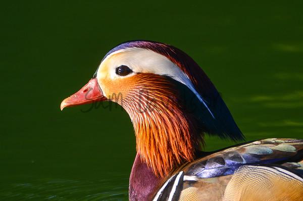 Aquatic Birds