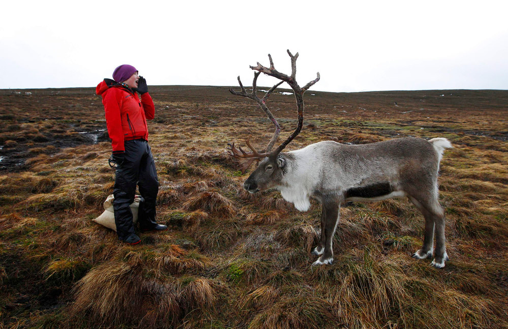 Description of . Reindeer herder Anna Jemmett from the Glenmore Reindeer Centre, calls out to attract a herd of free ranging reindeer before feeding them, in the Cairngorm Mountains near Aviemore, Scotland December 28, 2012. The 150 strong Cairngorm Reindeer Herd is Britain\'s only herd of reindeer. REUTERS/David Moir