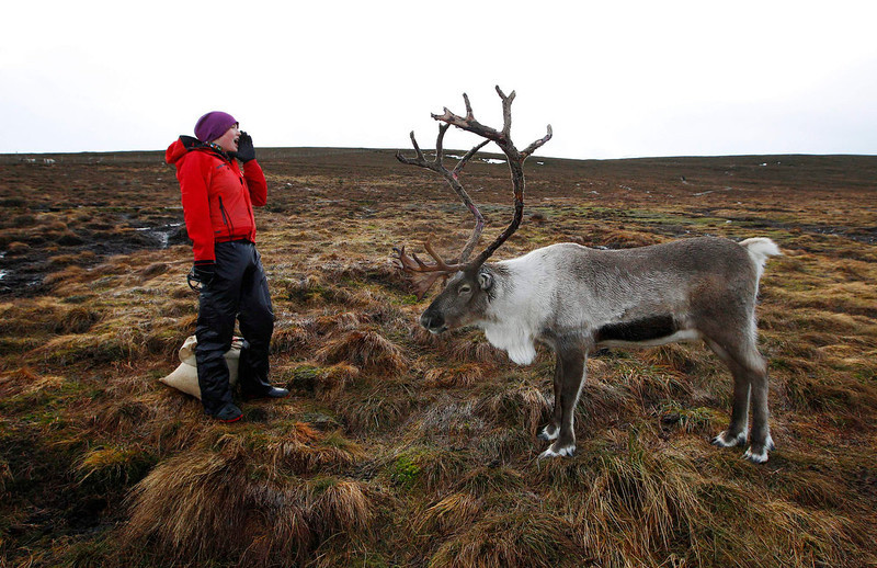 . Reindeer herder Anna Jemmett from the Glenmore Reindeer Centre, calls out to attract a herd of free ranging reindeer before feeding them, in the Cairngorm Mountains near Aviemore, Scotland December 28, 2012. The 150 strong Cairngorm Reindeer Herd is Britain\'s only herd of reindeer. REUTERS/David Moir