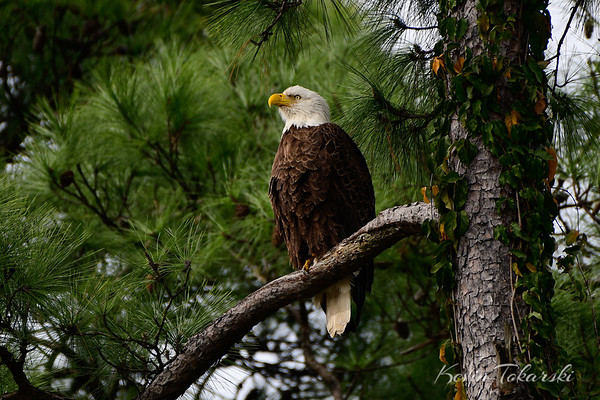 Bald Eagle At Lake Front Circle